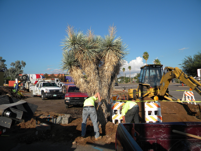 Joshua tree relocation 01.jpg
